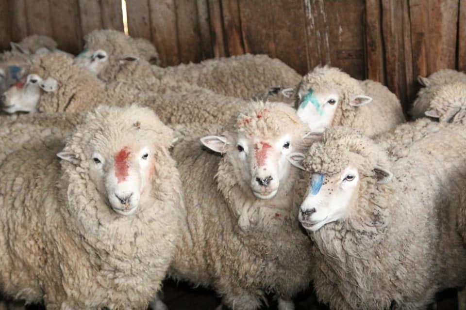 Public auction of corriedale sheep